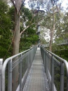 עצי אקליפטוס, עמודי שחקים בגובה 100 מטר.